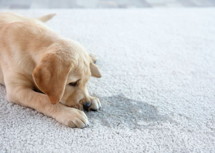pet stain carpet cleaning in ri